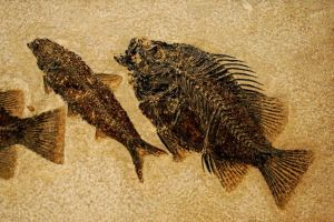 fossilfishmain_2