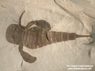 Eurypterus-remipes-t