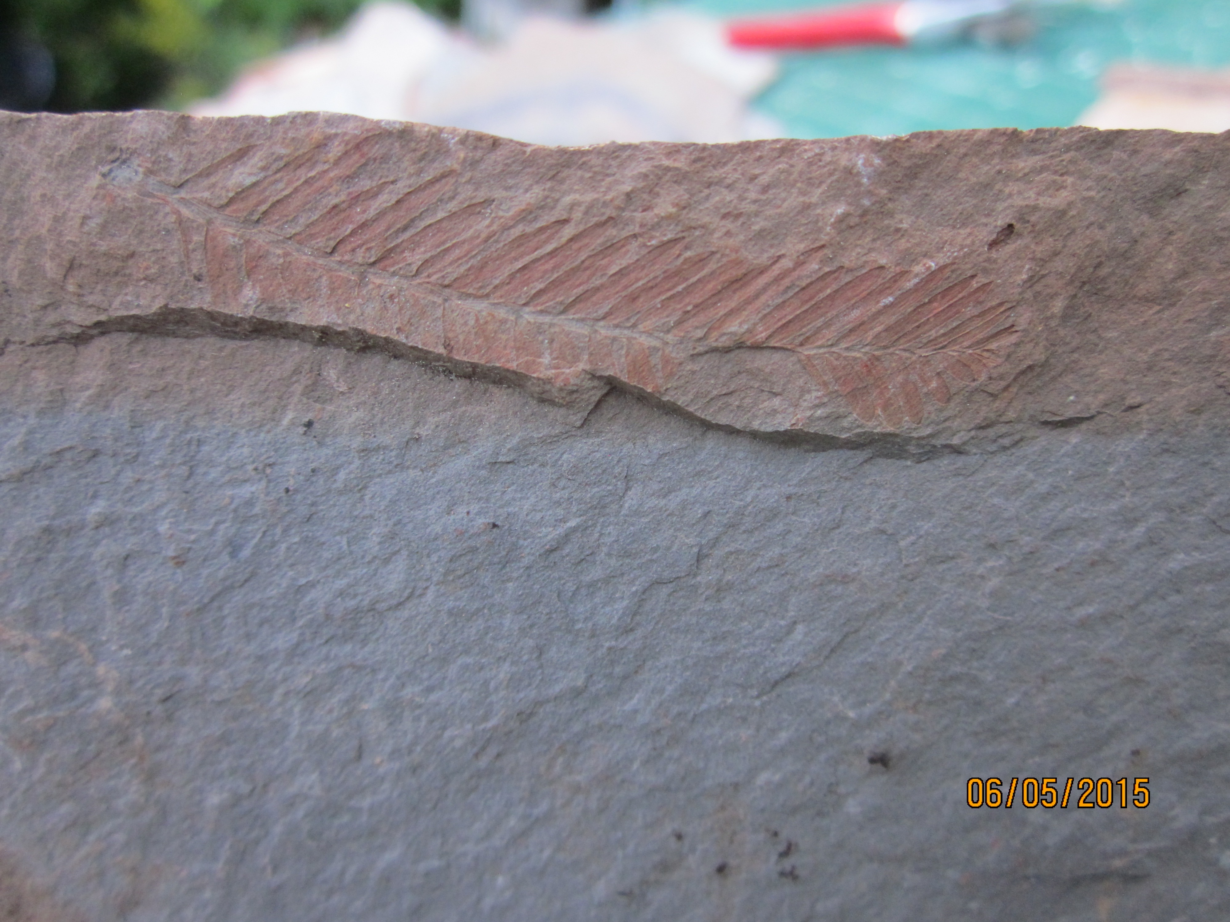 Hoping someone can identify these Princeton fossils    Gerda