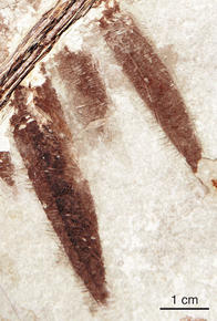 microraptor-fossil-1_medium
